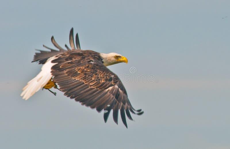 Uma águia corajosa imagem de stock royalty free