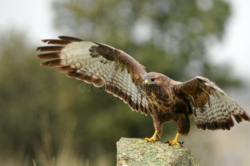Download águia Do Buzzard Com As Asas Abertas Na Rocha Foto de Stock - Imagem de imperial, águia: 29846290
