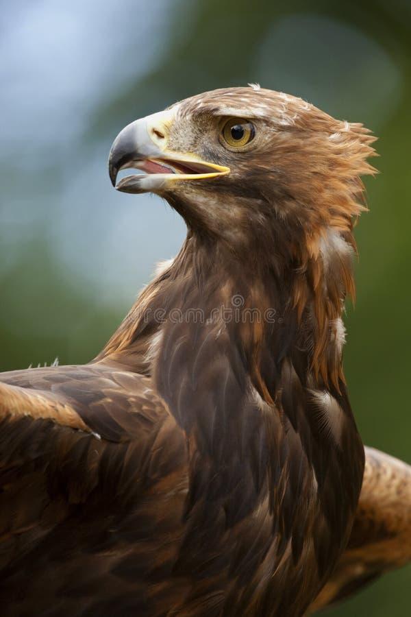 Uma águia dourada (chrysaetos de Aquila) imagens de stock