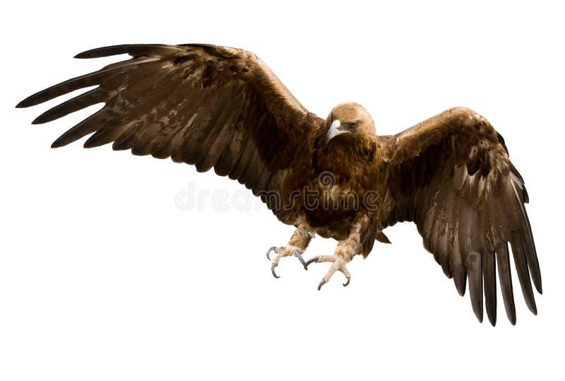Uma águia dourada, isolada