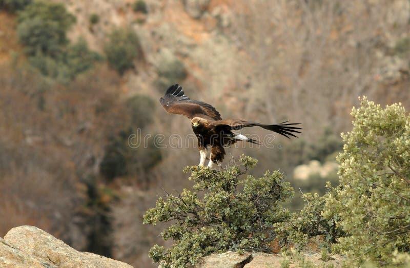 Download Uma águia dourada imagem de stock. Imagem de águias, raptors - 29845859