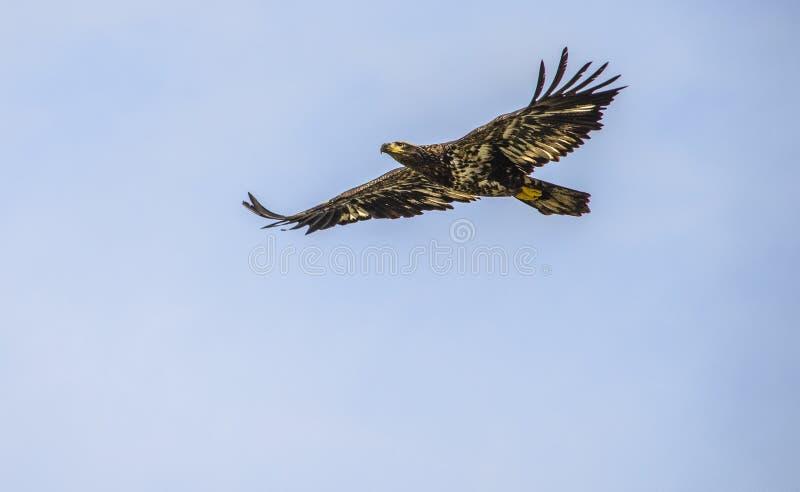 Uma águia nova imagens de stock
