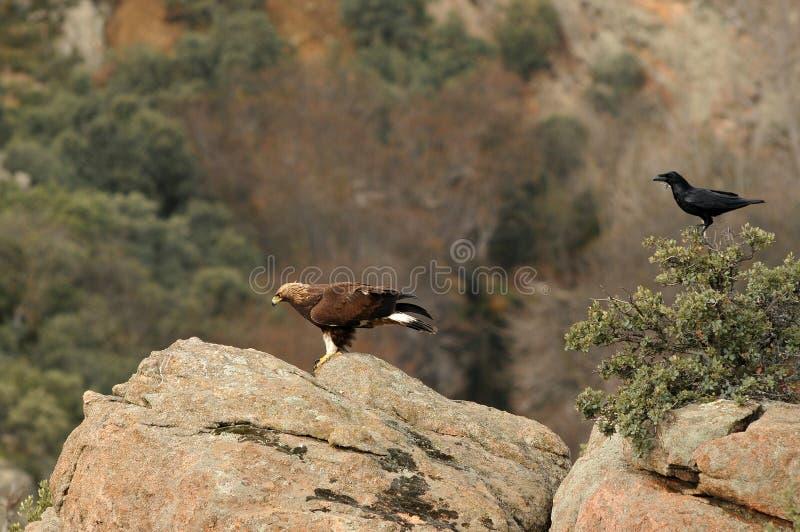 Download águia E Um Corvo Nas Rochas Nas Montanhas De Avila Imagem de Stock - Imagem de imperial, wildlife: 29847209