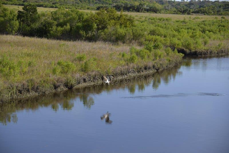 Uma águia pescadora alcança para mais altura enquanto pesca a via navegável de Amelia Island foto de stock