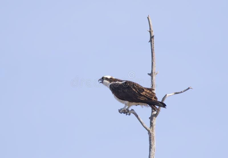 Uma águia pescadora empoleirada altamente em uma árvore isolada contra um céu azul em Canadá fotografia de stock royalty free
