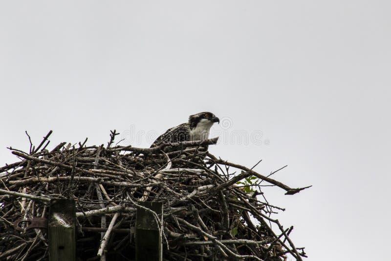 Uma águia pescadora nova que senta-se em um ninho fotos de stock royalty free