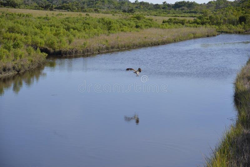 Uma águia pescadora termina-o que pesca o mergulho em Amelia Island imagens de stock royalty free