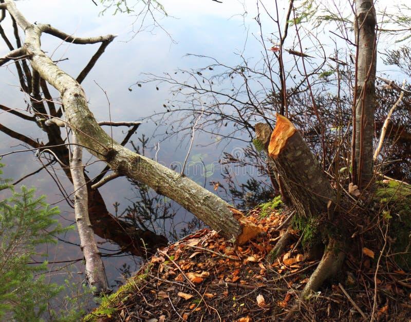 Uma árvore abatida com castores imagens de stock