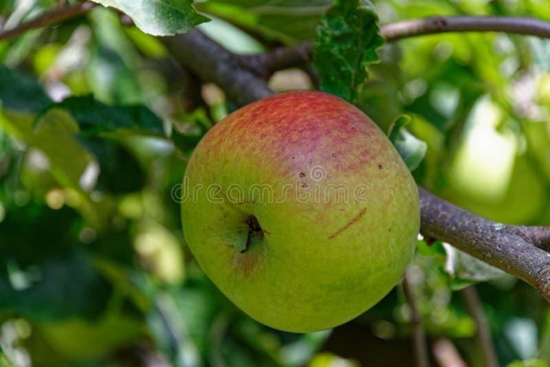 Uma árvore amadureceu a maçã, imperfeita mas natural foto de stock royalty free