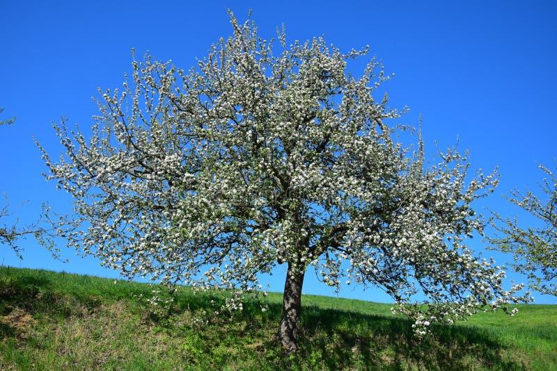 Uma árvore branco-florescida na mola no Odenwald, Alemanha imagens de stock royalty free