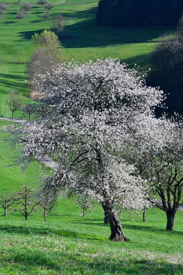 Uma árvore branco-florescida na primavera adiantada no Odenwald, Alemanha foto de stock