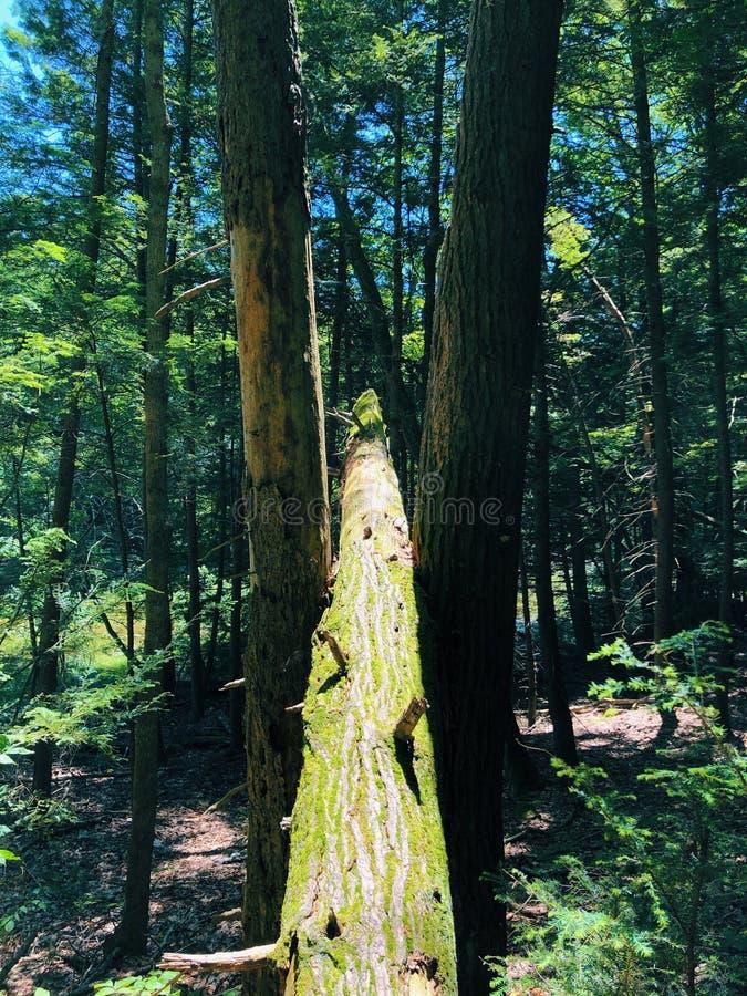 Uma árvore caída entre duas árvores na floresta imagens de stock