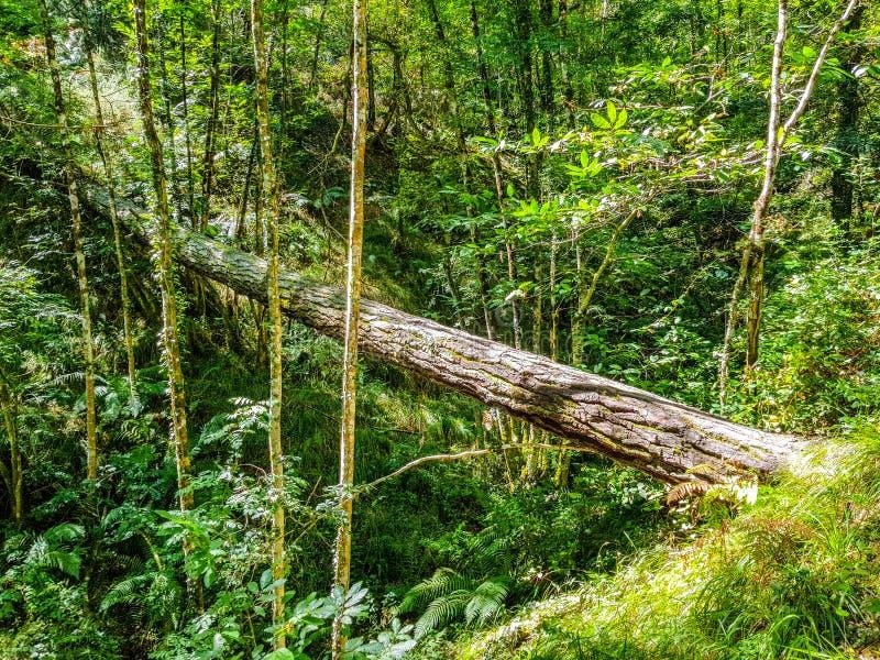 Uma árvore caída rotting no meio da floresta e serve como uma etapa lateral foto de stock royalty free