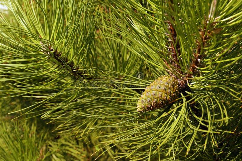 Uma árvore com as agulhas e impressiv excepcionalmente longos, decorativos fotos de stock