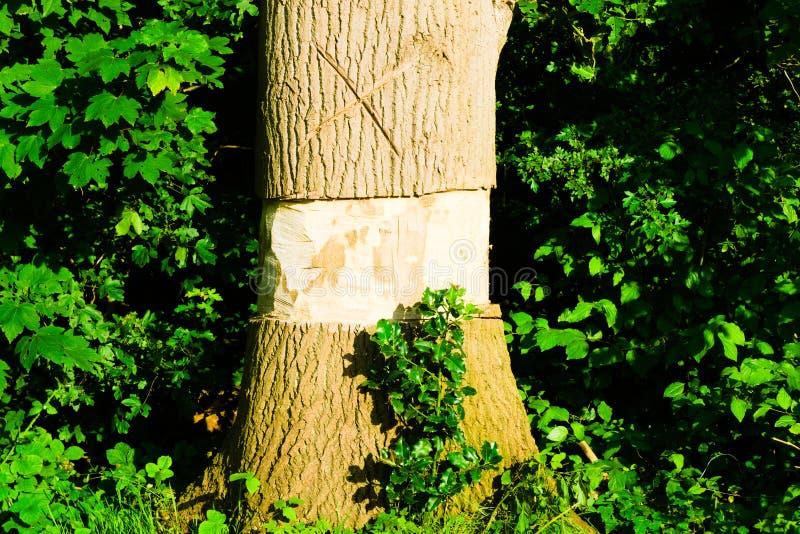 Uma árvore com o meio cinzelado para fora fotos de stock
