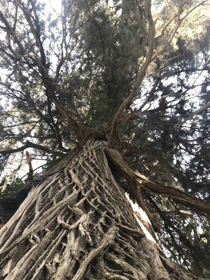 Uma árvore com uma textura incomum da casca é descrita fotografia de stock royalty free