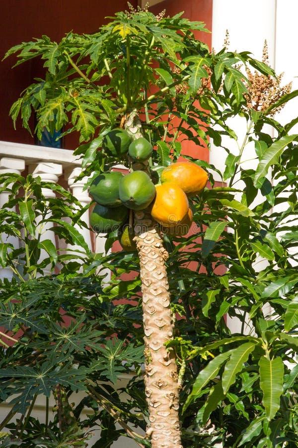 Uma árvore da papaia com frutos maduros amarelos e verdes Gosto asiático imagens de stock