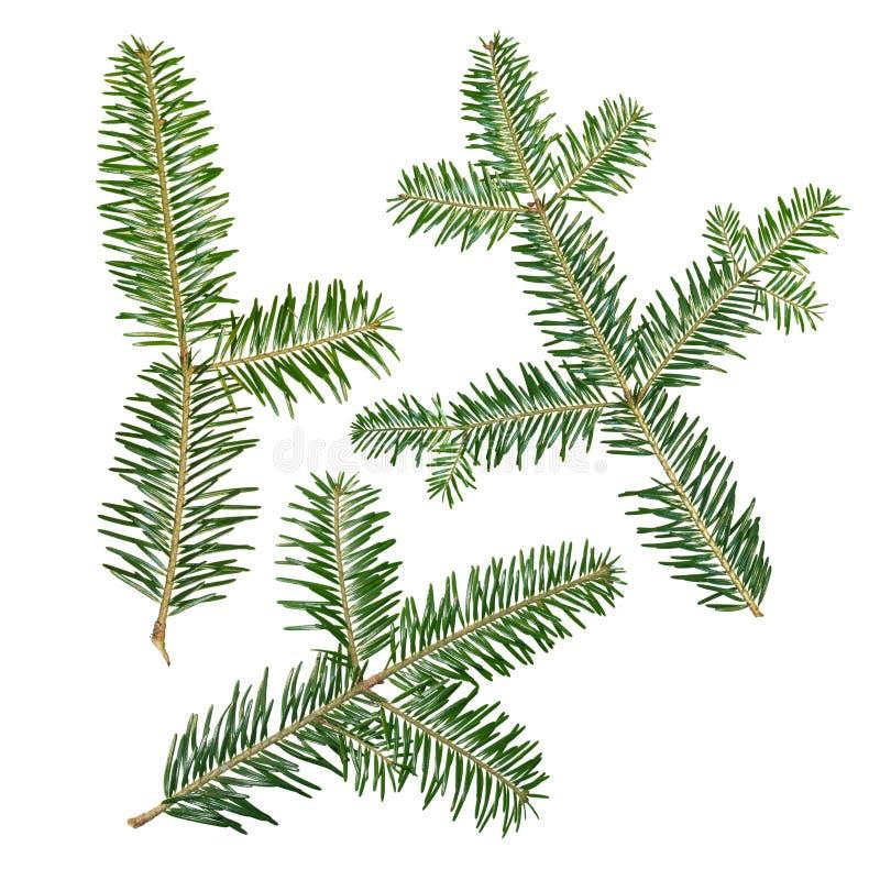 Uma árvore de abeto Abies o ramo do sibirica é isolada em um fundo branco fotografia de stock royalty free