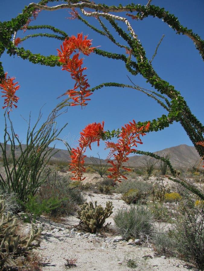 Uma árvore de arqueamento do ocotillo na flor brilhante da mola está para fora contra um céu azul e uma paisagem do deserto foto de stock royalty free