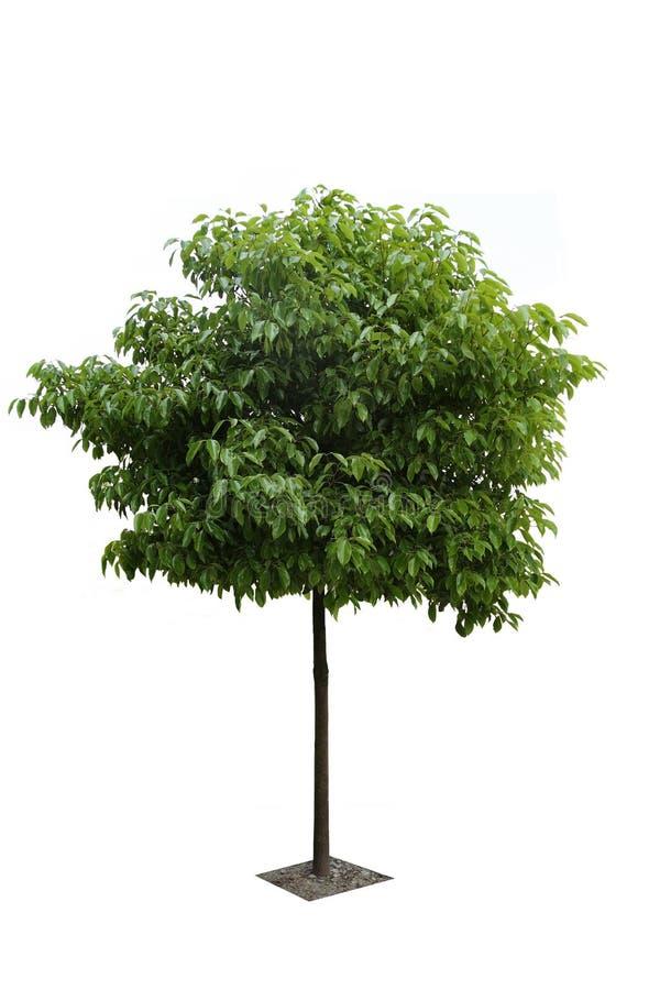 Uma árvore de cânfora foto de stock royalty free