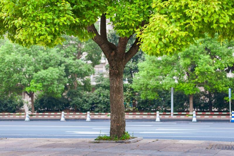 Uma árvore de cânfora na cidade fotos de stock royalty free