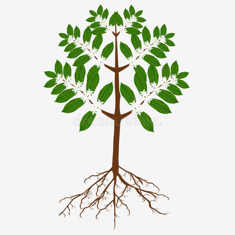 Uma árvore de café de florescência com flores e raizes ilustração do vetor