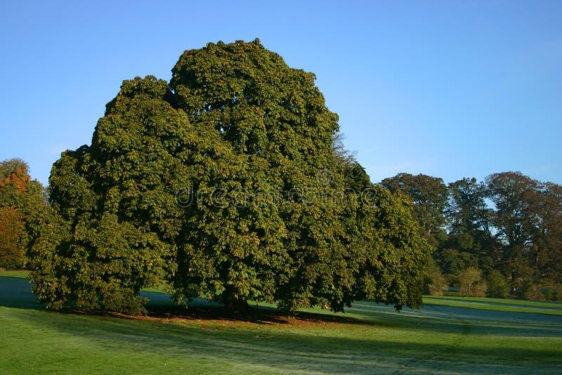 Uma árvore de castanha grande fotos de stock