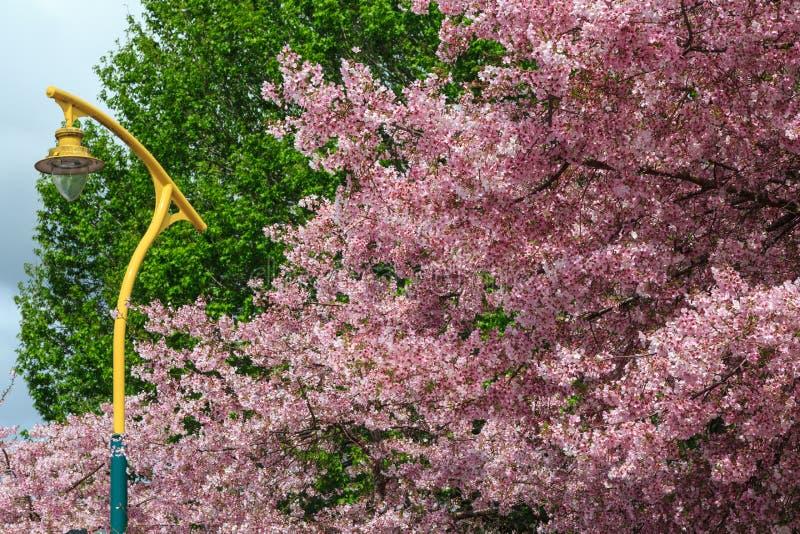 Uma árvore de cereja sufocada nas flores cor-de-rosa fotografia de stock