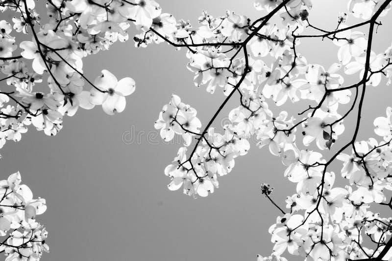Uma árvore de corniso fotos de stock