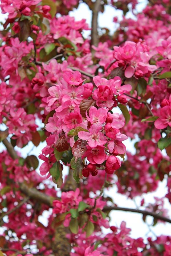 Uma árvore de Crabapple com flor cor-de-rosa imagem de stock royalty free