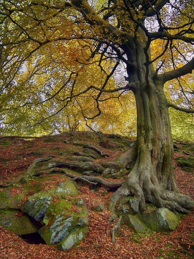 Uma árvore de faia antiga alta com a casca textured verde e folha amarela dourada do outono e raizes expostas torcidas em rochas  imagens de stock royalty free