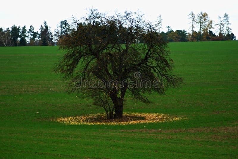 Uma árvore de maçã só no meio de um campo fotografia de stock royalty free