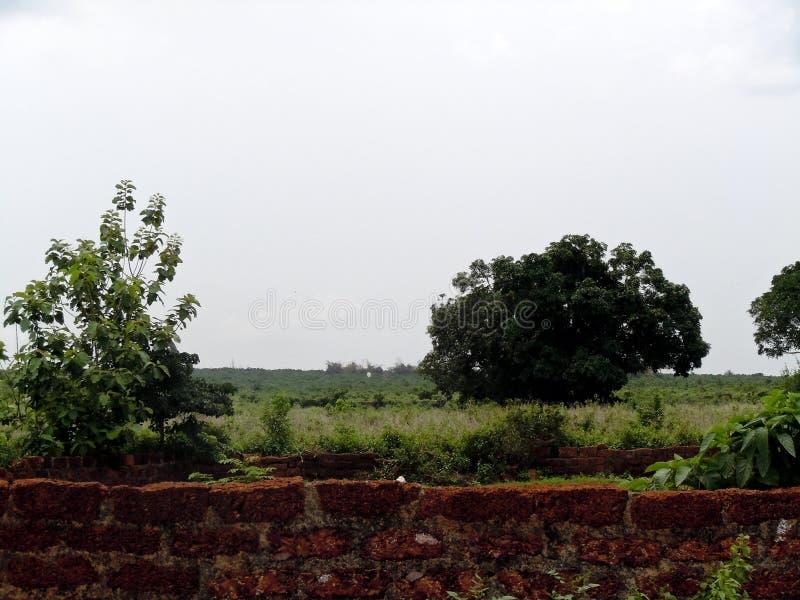 Uma árvore de manga solitária do rolamento do fruto na selva fotografia de stock royalty free