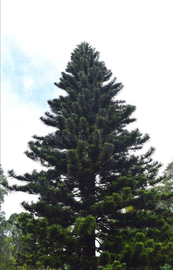 Uma árvore de Natal alta enorme contra as nuvens brancas e o céu azul - fundo natural imagem de stock