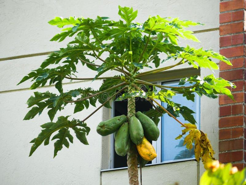 Uma árvore de papaia com os fuits que penduram sobre uma janela em um jardim um da casa deles maduros fotos de stock