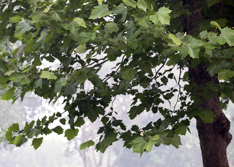 Uma árvore de phoenix foto de stock royalty free