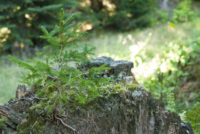 Uma árvore de pinho nova fotos de stock royalty free