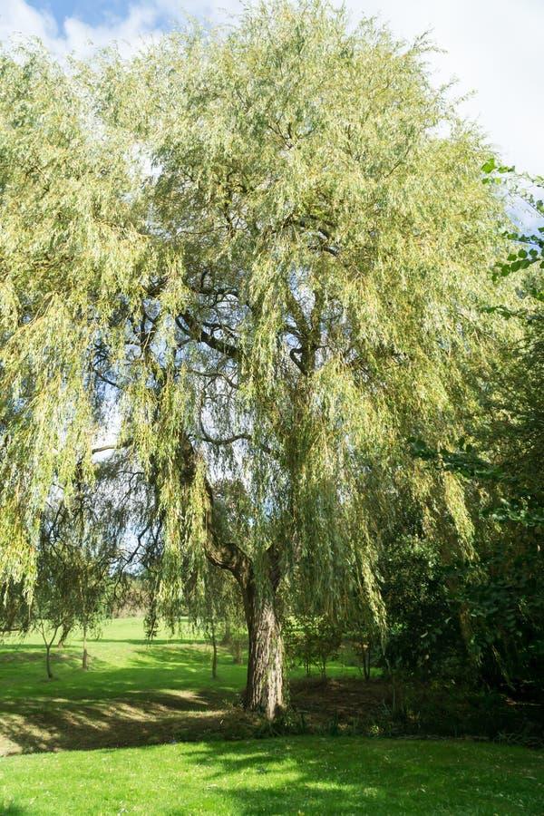 Uma árvore de salgueiro em um parque fotografia de stock
