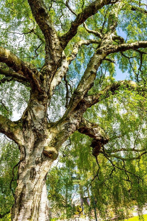 Uma árvore de vidoeiro velha com ramos longos no tempo de mola imagens de stock royalty free