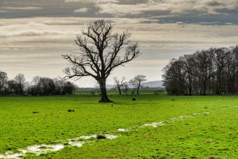 Uma árvore desencapada em um campo parcialmente inundado fotos de stock royalty free