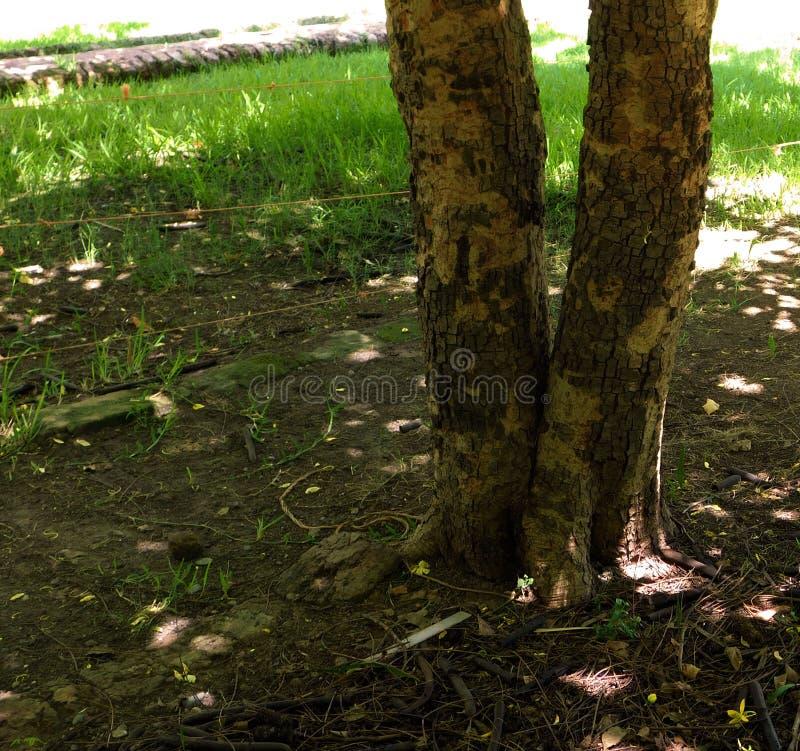 Uma árvore dobro em um parque fotos de stock royalty free