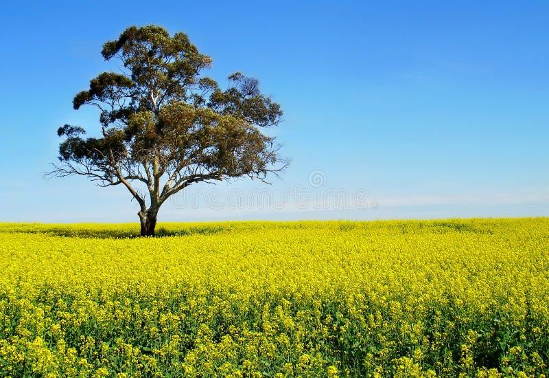 Uma árvore e um campo amarelo de Canola imagens de stock