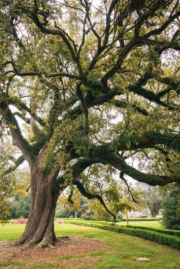 Uma árvore em Baton Rouge, Louisiana fotos de stock