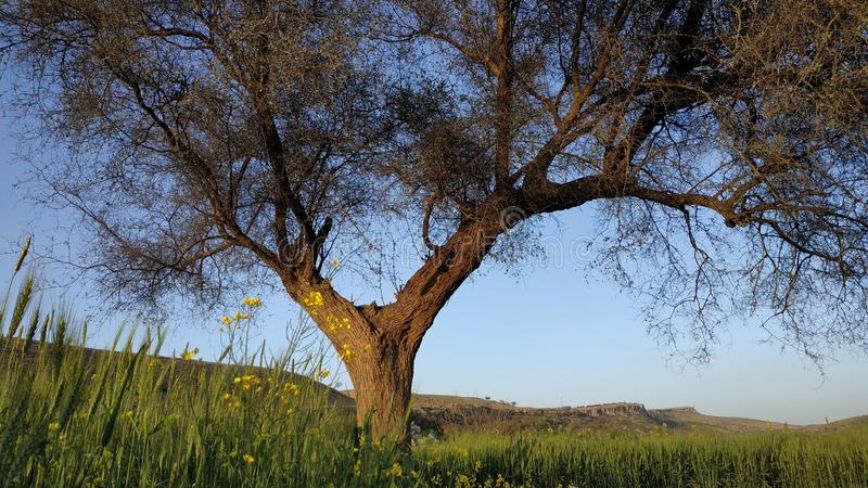 Uma árvore em campos de trigo imagens de stock royalty free