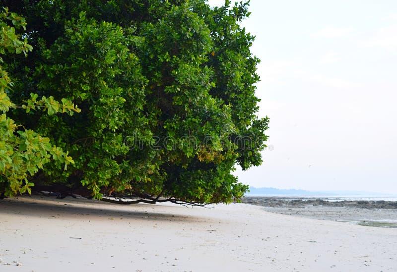 Uma árvore enorme dos manguezais em Sandy Beach - a praia de Vijaynagar, ilha de Havelock, Andaman Nicobar, Índia fotos de stock