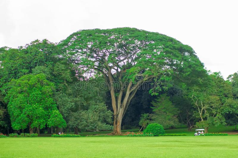 Uma árvore enorme no jardim botânico em Sri Lanka fotos de stock