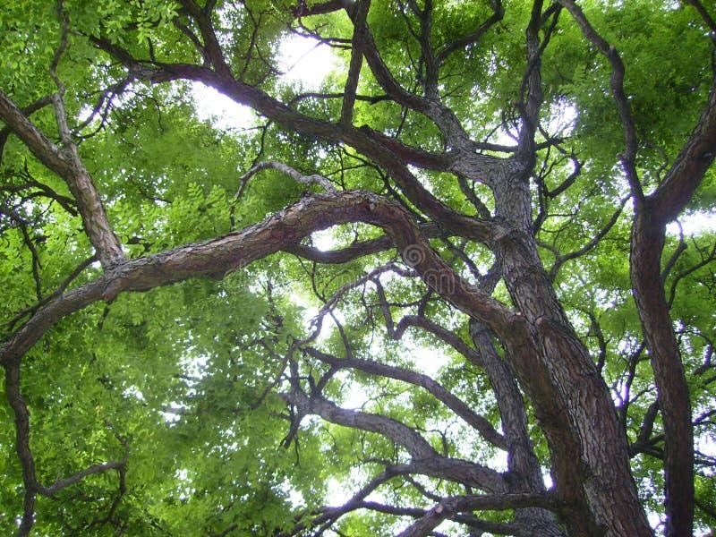 Uma árvore grande com ramos da curva e as folhas verdes no verão foto de stock royalty free