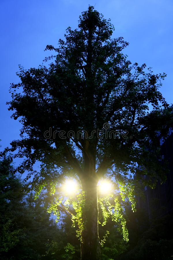 Uma árvore grande da nogueira-do-Japão parece olhar povos na manhã fotografia de stock royalty free