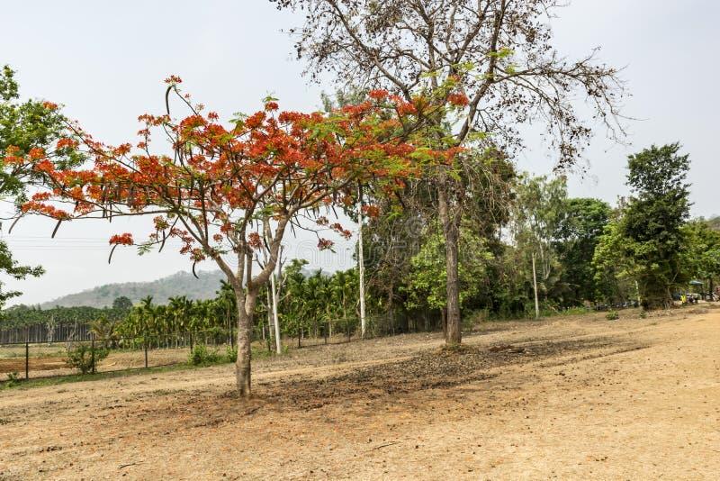 Uma árvore gulmohar no caminho imagem de stock