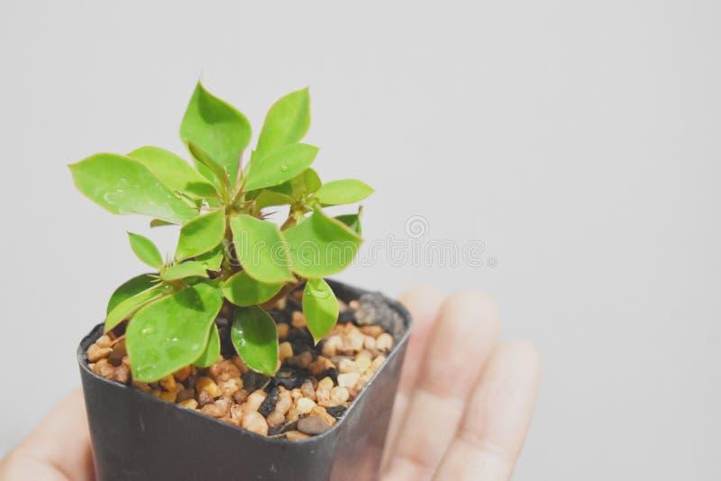 Uma árvore minúscula do milii do eufórbio guardou suavemente em uma mão em um fundo branco macio imagem de stock